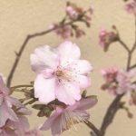 『河津桜』2017年