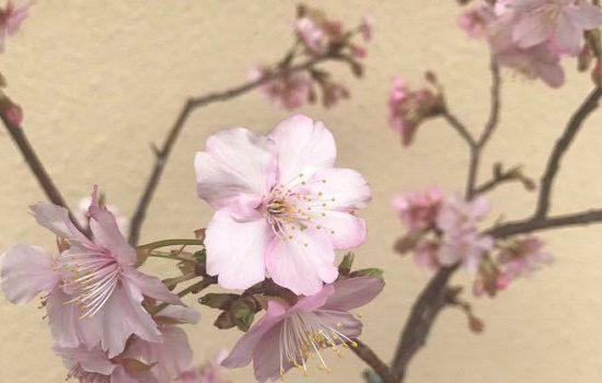 河津桜の蕾と開花した花枝